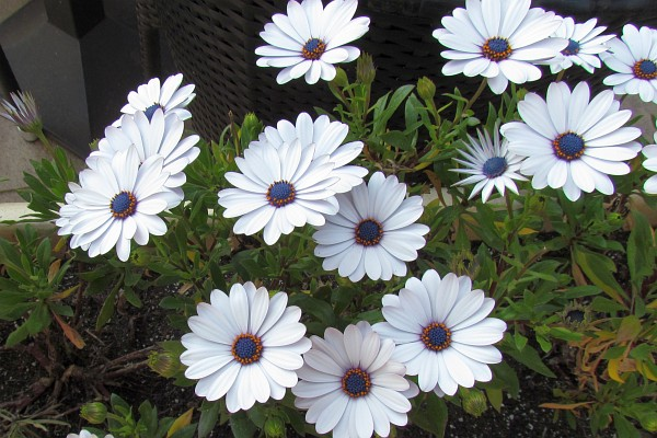 Nature photography by richard l bowman flower blog white osteospermum flowers african daisies mightylinksfo