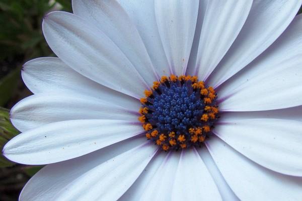 Nature photography by richard l bowman flower blog close up of white osteospermum flower mightylinksfo