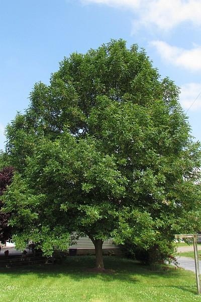 Old Ash Tree